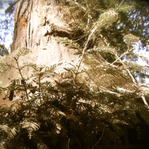 You can feel the energy coming off of these Redwood Trees